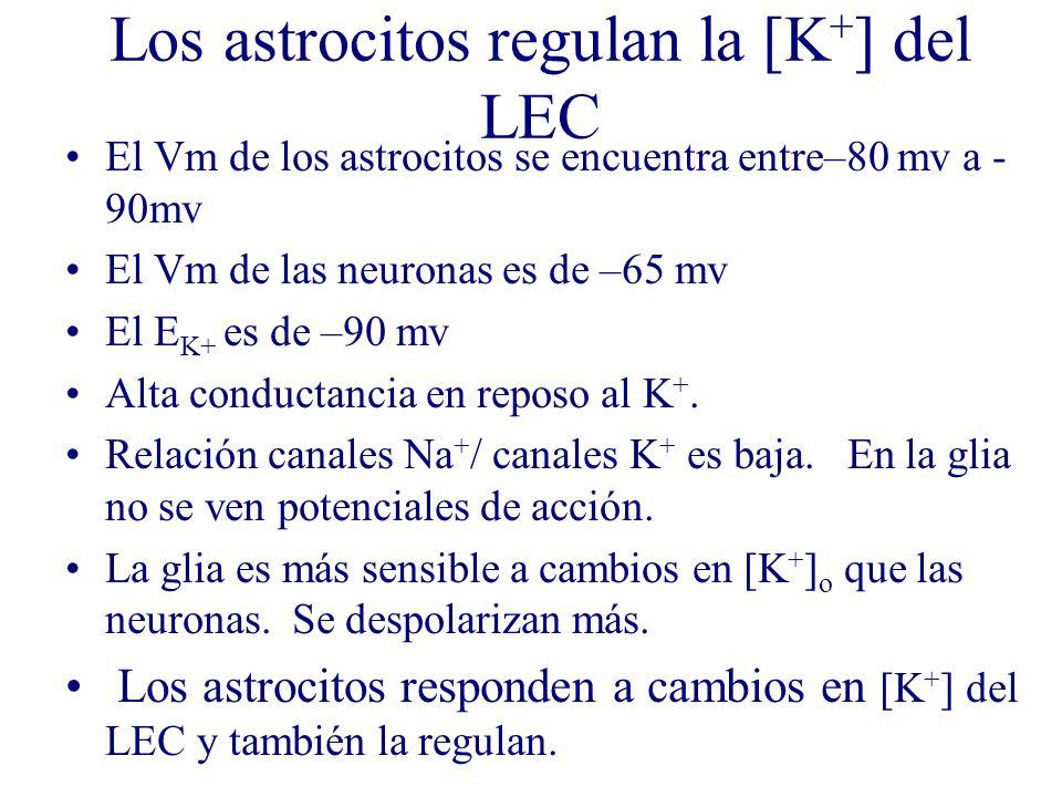 Los astrocitos regulan la [K+] del LEC